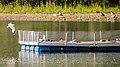 Flussseeschwalbe (24) (34896627931).jpg