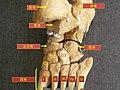 Foot bones - tarsus, metatarsus-zh.jpg