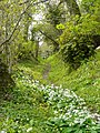 Footpath between Pippacott and Whitehall adorned with wild garlic and celandines. - geograph.org.uk - 778543.jpg
