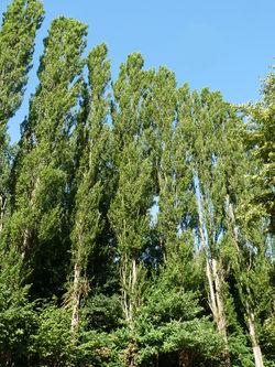 Forêt de la Robertsau-Peupliers.jpg