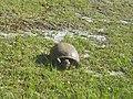 Foraging Florida Gopher Tortoise 002.JPG