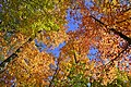 Forest Canopy Heart Lake Conservation Area Ontario.jpg
