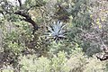 Forest in the Sierra Madre Oriental with Agave.jpg