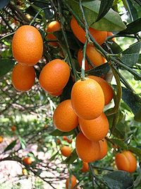 Citrus Japonica Wikip 233 Dia A Enciclop 233 Dia Livre