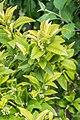 Fortunella margarita in Jardin des 5 sens (1).jpg