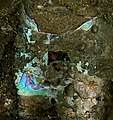 Fossil nautiloid shell with original iridescent nacre in fossiliferous asphaltic limestone.jpg