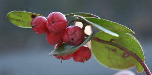 Wintergreen (Gaultheria procumbens, the Easter...