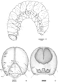 Fourth instar larva of Anchylorhynchus eriospathae.png