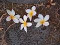 Frangipani or plumeria.jpg