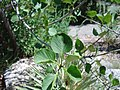 Fraxinus anomala4.jpg