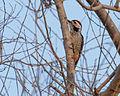 Freckle-breasted Woodpecker.jpg