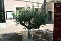 Frontignan arbre jumelage.JPG