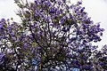 Funchal - Palisanderholzbaum (Jacaranda mimosifolia) IMG 2110.JPG