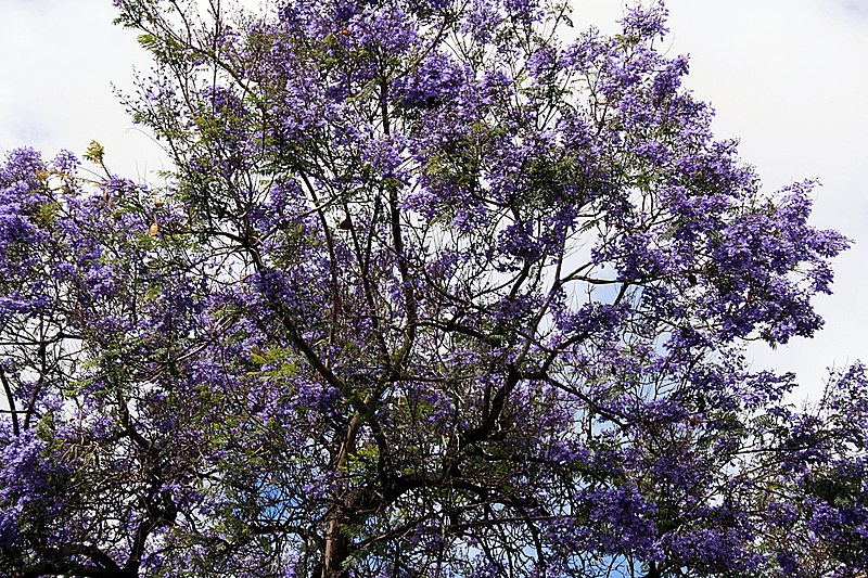 File:Funchal - Palisanderholzbaum (Jacaranda mimosifolia) IMG 2110.JPG