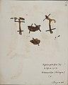 Fungi agaricus seriesI 028.jpg