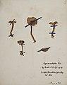 Fungi agaricus seriesI 070.jpg