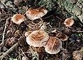 Fungus near Downpatrick - geograph.org.uk - 1564140.jpg