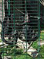 Futteraustausch Braunkopfklammeraffen Zoo Landau.JPG