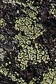 Göteborg 10.08.2017 Rhizocarpon lecanorinum (37200902922).jpg