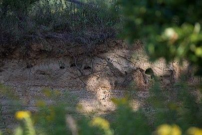 GS- Bienenfresser Sandgrube 010.jpg