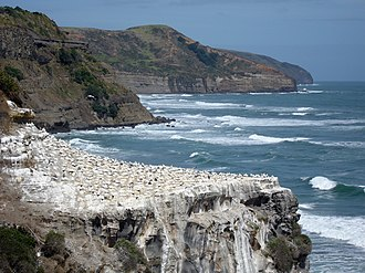 Australasian gannet - Breeding colony at Muriwai, New Zealand