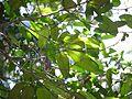 Garcinia talbotii (8284225166).jpg