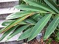 Gardenology.org-IMG 2487 ucla09.jpg