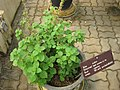 Gardenology.org-IMG 8057 qsbg11mar.jpg