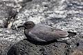 Gaviota negruzca (Larus fuliginosus), isla Santa Cruz, islas Galápagos, Ecuador, 2015-07-26, DD 35.JPG