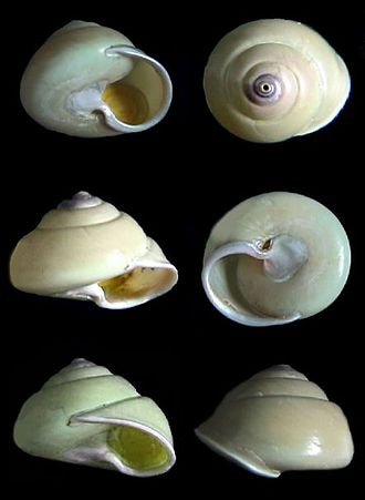 Gaza (gastropod) - Various  views of shells of Gaza superba with the operculum visible in place