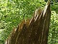 Gebrochener Baumstamm Bayerischer Wald.jpg