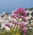 Genoa - flower.jpg