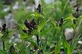 Gentiana Purpurea - Alpine Flora.jpg