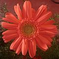 Gerbera flower purple.JPG