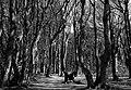 Gespensterwald Nienhagen 01.jpg