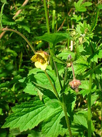 Geum urbanum - Wikipedia, the free encyclopedia