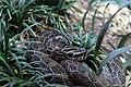 Gfp-mexican-lance-headed-rattlesnake.jpg