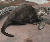 Gfp-otter-and-trout.jpg