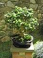 Gijon bonsai.jpg