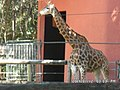 Girafa Zoo-Botânica de Belo Horizonte.jpg