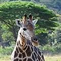 Giraffe (2875296520).jpg