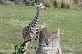 Giraffe (5162626637).jpg