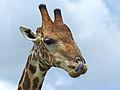 Giraffe (Giraffa camelopardalis) (13928716001).jpg