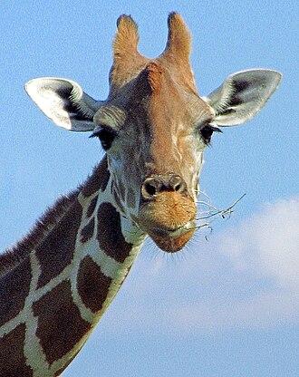 Lion Country Safari - Giraffe