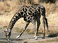 Giraffedvl.jpg