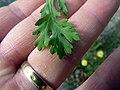 Glebionis segetum leaf (02).jpg