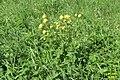 Globeflowers (Trollius) (14509652011).jpg
