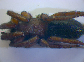 <i>Gnaphosa</i> Genus of spiders