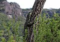 Goanna in Tree.jpg
