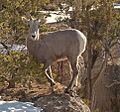 Goat 4 (4279959507).jpg